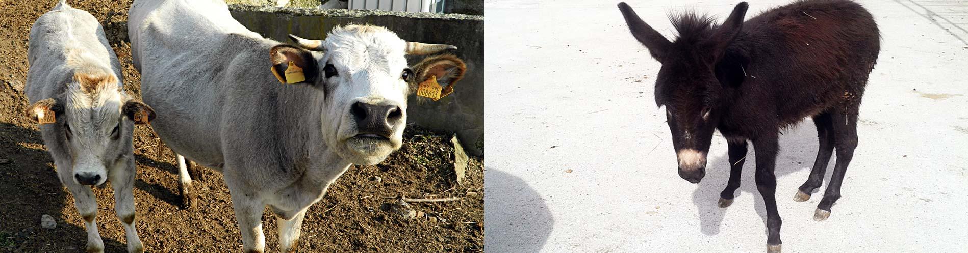 Mucca-e-Asinello